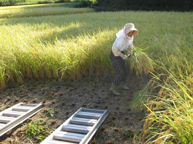 稲刈り風景2